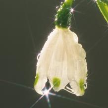 銀座ダイヤモンドシライシ:結婚の聖花とされるユリの花がモチーフ【ダイヤモンド・リリー メレあり】